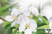Blossom Blooming On Trees In Springtime. Apple Tree Flowers Blooming. Blossoming Apple Tree Flowers  poster