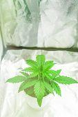 Vegetation Of Cannabis Growing. Marijuana In Grow Box Tent. Close Up. Growing Marijuana At Home Indo poster