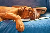 A Tired Dog de Bordeaux asleep over the books