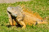 iguana on green grass lawn