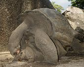 Giant Tortoise Mating