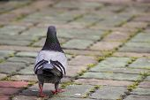Pigeon Walking away from the camera