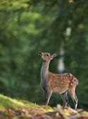 pic of bambi  - Bambi image of a young deer looking up in a forest clearing - JPG
