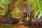 Green Heron Standing At Water Edge