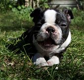 foto of applehead  - a boston terrier puppy yawning - JPG