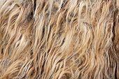 Un detalle de pelo de Llama (textura)