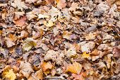 Brown Red Orange Maple Leaf Litter