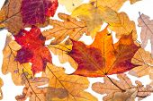 Dried Autumn Maple And Oak Leaves