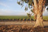 Rows Of Wine Grapes By Eucalyptus Tree
