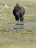 stock photo of lamar  - Adult Buffalo standing in water at Yellowstone - JPG