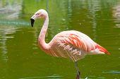 Flamingo em Lagoa Tropical