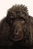 picture of standard poodle  - black standard poodle  - JPG