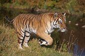 Tigre siberiano corriendo cerca del agua