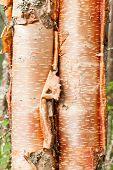 Paper birch Betula neoalaskana bark background
