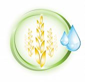 Wheat plant with drops