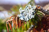 Macro Of Lichen On Pine Tree