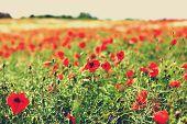 Poppy Flowers In A Meadow