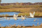 Four Trumpeter Swans Taking Flight