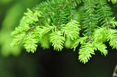 Hemlock-Baum-Blatt-Detail