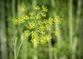 Fennel In Garden