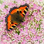 Small tortoiseshell butterfly or Aglais urticae on Sedum flowers