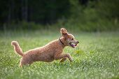 stock photo of standard poodle  - Standard Poodle jumping on long grass while hunting birds