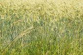 Beautiful Cornfield In The Summertime
