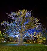 Baobab Tree By Night