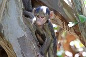 Baby Olive Baboon (papio Anubis) Climbing