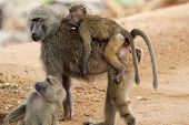 Family Of Olive Baboons (papio Anubis)