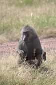 Male Olive Baboon (papio Anubis) Sitting