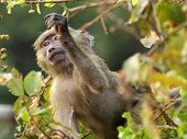 stock photo of anubis  - Baby olive baboon  - JPG