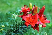 Red  Blooming Lily Flowers Lilium Sp.