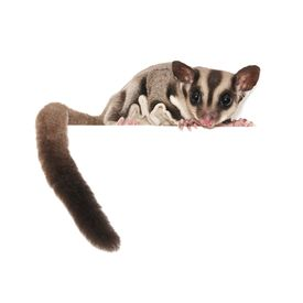 stock photo of possum  - Sugar Glider - JPG