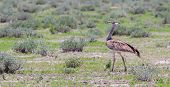 Kori Bustard (ardeotis Kori) Walking In The Bush