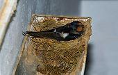 Swallow Brooding On Rain Gutter Nest
