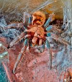 Portrait Of Venezuelan Tarantula Spider Sits On The Web Macro Focus On The Eyes