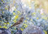 picture of brown thrush  - Song Thrush on Garden wall Ardmair Scottish Highlands - JPG