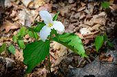 Lone Trillium Whole Plant