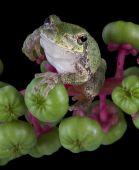 image of pokeweed  - baby gray tree frog is holding on to some pokeweed berries - JPG
