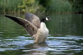 Powerful Canada goose
