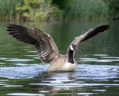 Canada / Canadian Goose taking off / flapping from a river