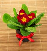 Pot with primula on the bamboo cloth