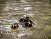 Three Little Mallard Ducklings In The Water