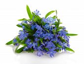 Scilla or Squill