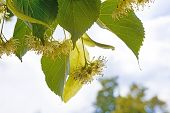 Detail Of Linden Blossoms