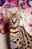Beautiful serval, Leptailurus serval