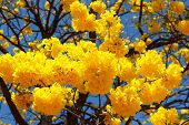 Yellow Flowers Of Tree Tabebuia Aurea