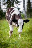Newborn calf on green grass