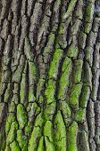 Close-up Of Aged Oak Bark - Background, Texture